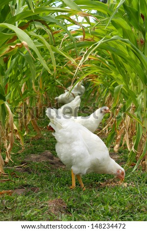 Chickens and Roosters are standing outside on a farm, under a canopy of green stalks of sweet corn - stock photo