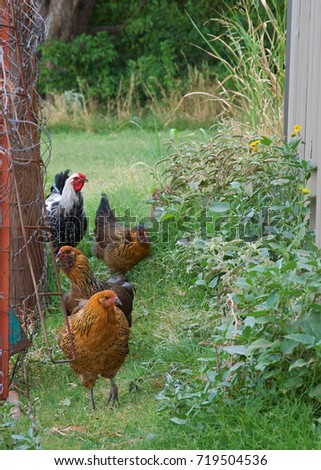 Chickens are walking in a row, next to a fence, on a farm.
