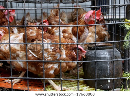 chickens in a cage - stock photo