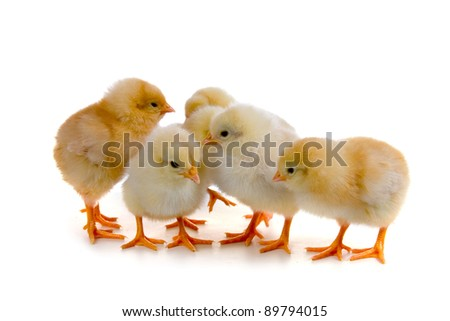 Chickens isolated on a white background - stock photo