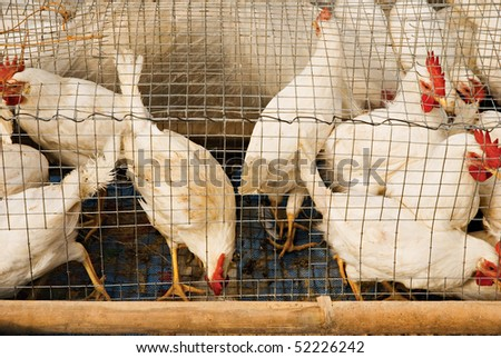 Chickens on a Wire Cage - stock photo