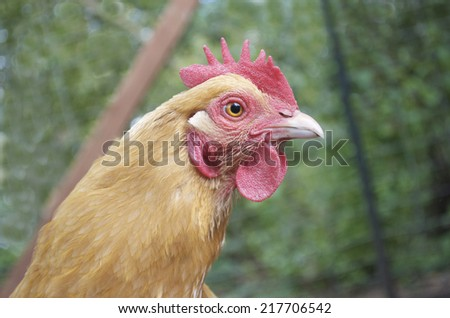 Chickens That Lay Eggs - stock photo