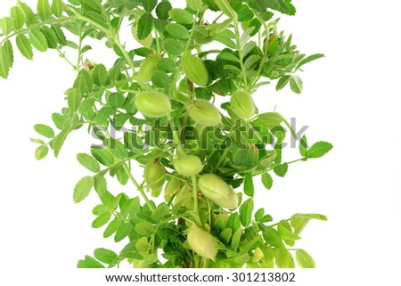 chickpeas green young plant with pod on pure white background - stock photo