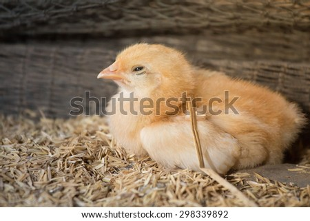 Chicks in the henhouse.Newly hatched chicks on a chicken farm. - stock photo