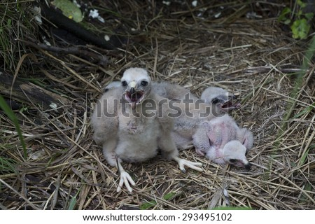 Chicks Northern Harrier (Circus cyaneus) sit in the nest - stock photo