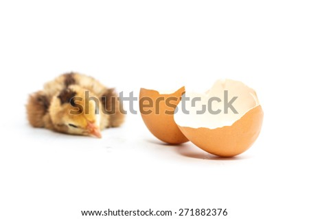 Chicks on white background.Children fighting cocks native Thailand. - stock photo
