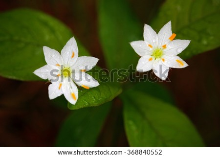 Chickweed Wintergreen, Trientalis europaea, white wild plant, two blooms, in the nature habitat, Krkonose mountain, Czech Republic - stock photo