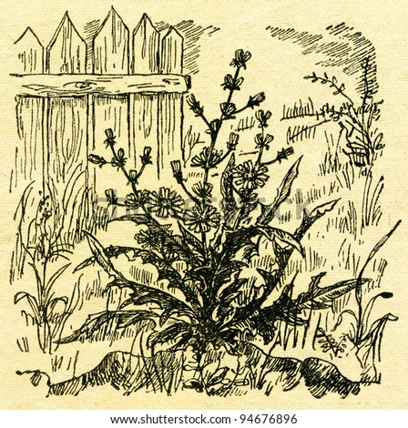 """chicory - an illustration from the book """"In the wake of Robinson Crusoe"""", Moscow, USSR, 1946. Artist Petr Pastukhov - stock photo"""