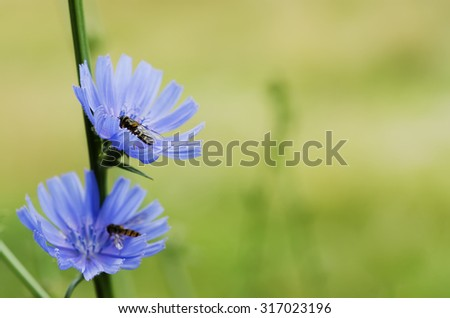 Chicory blue flower blooming in nature, floral background with copy space - stock photo