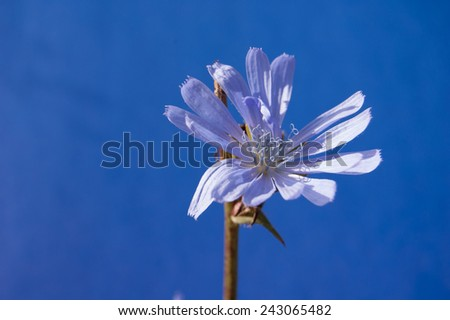 Chicory on the blue background. Blue flower on a blue background  - stock photo