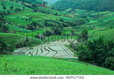 Chieng mai, Thailand - August 12, 2016: unidentified people in corn field, Chiang mai, Thailand.