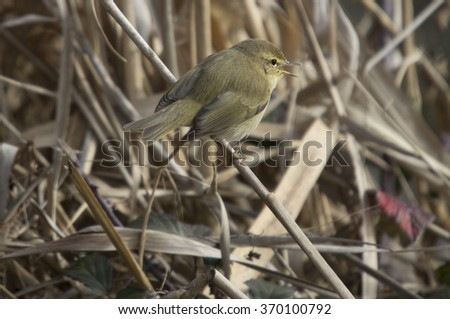 Chiffchaff, Phylloscopus collybita, Single bird on branch,  - stock photo