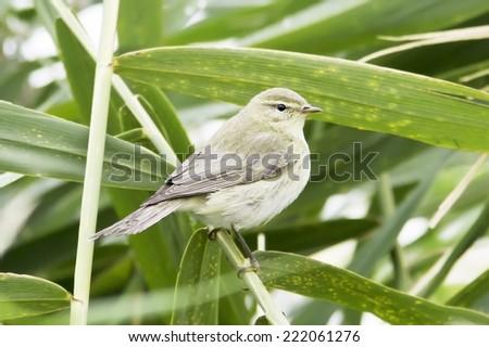 Chiffchaff / Phylloscopus collybita /  Single bird on reed - stock photo