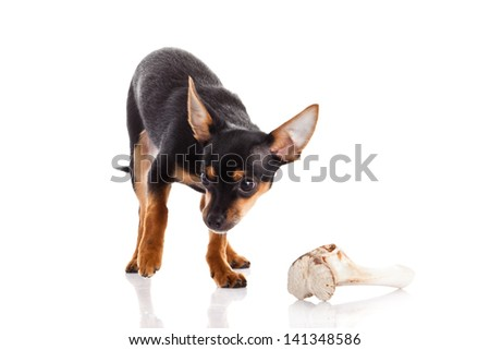chihuahua and bone isolated on white background