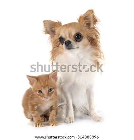 chihuahua and kitten in front of white background
