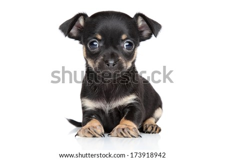 Chihuahua and Toy Terrier mixed-breed puppy on white background - stock photo