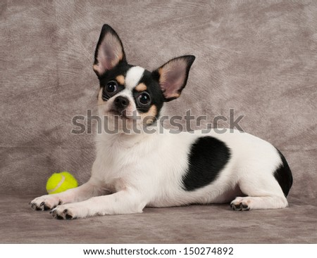 French bulldog puppy playing with ball