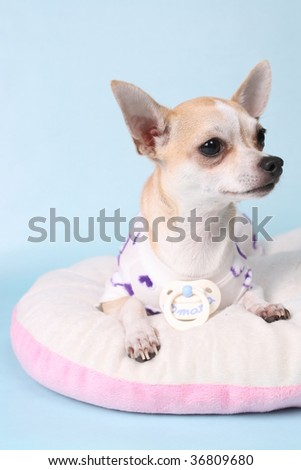 chihuahua as baby