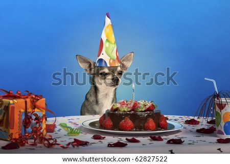 Chihuahua at table wearing birthday hat and looking at birthday cake in front of blue background - stock photo