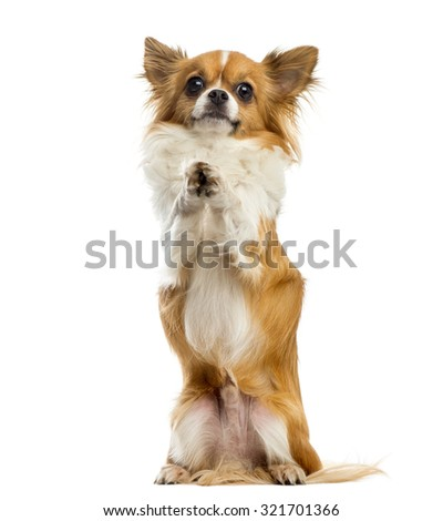 Chihuahua begging in front of a white background - stock photo