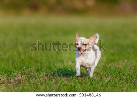 Chihuahua,chihuahua running fast on the grass.