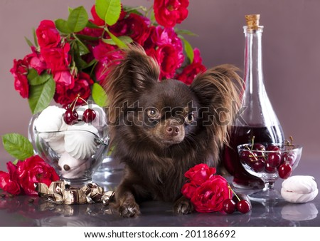 chihuahua,  chocolate color  - stock photo