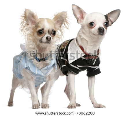 Chihuahua couple dressed up, 1 year old, standing in front of white background - stock photo