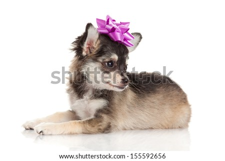 Chihuahua . Cute Chihuahua dog on a white background. - stock photo