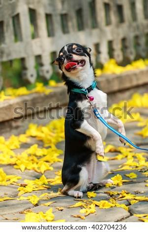 Chihuahua , cute,puppy, pet, dog. - stock photo
