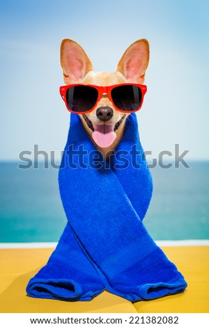 chihuahua dog at the beach having a wellness spa treatment wearing red funny sunglasses - stock photo