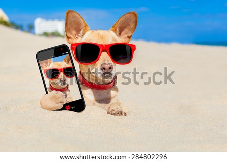 chihuahua dog  buried in a hole in  the sand at the beach on summer vacation holidays , wearing red sunglasses, while taking a selfie - stock photo