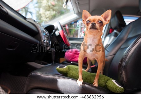 Chihuahua dog cute pets happy in car