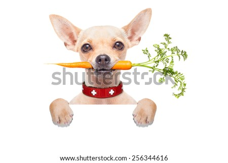 chihuahua dog eating healthy with a carrot in mouth , behind a blank banner ,blackboard or placard, isolated on white background - stock photo