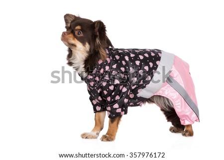 chihuahua dog in a raincoat - stock photo