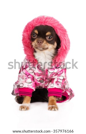 chihuahua dog in a winter jacket with a hood - stock photo
