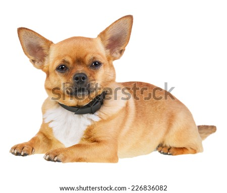 Chihuahua Dog in Anti Flea Collar Isolated on White Background. Closeup. - stock photo