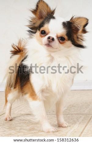 chihuahua dog indoors - stock photo