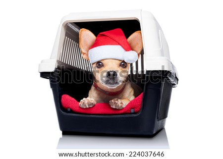 chihuahua dog inside a box or crate for animals, as christmas present,  isolated on white background - stock photo