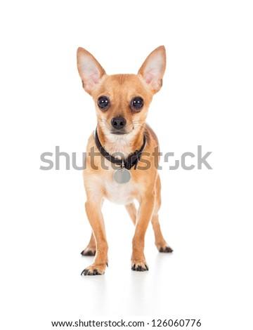 chihuahua dog isolated on white background - stock photo
