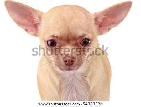 Chihuahua dog, isolated on white background - stock photo