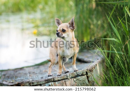 Chihuahua dog. Little, green nature, day - stock photo