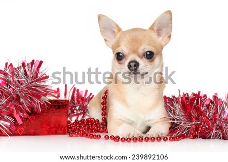 Chihuahua dog lying in red garlands on a white background - stock photo