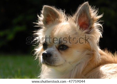 CHIHUAHUA - dog portrait - stock photo