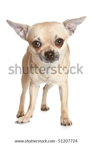 Chihuahua dog puppy on a white background - stock photo