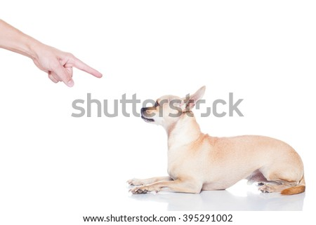chihuahua dog ready for a walk with owner , punished by the owner - stock photo