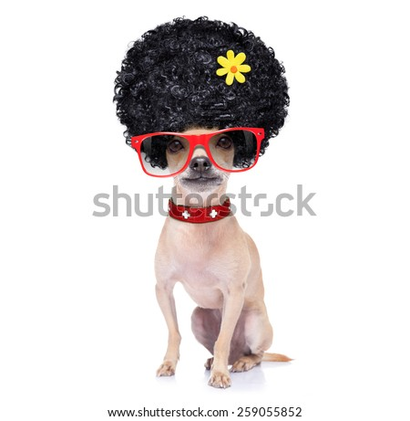 chihuahua dog  ready for vacation summer holidays,  isolated on white background - stock photo