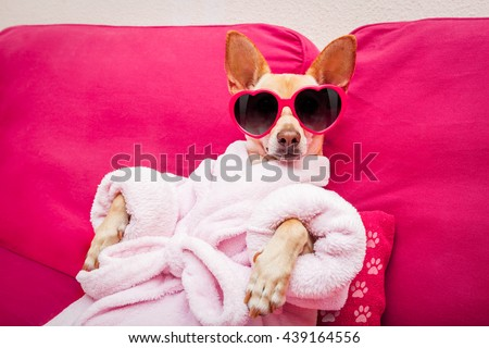 chihuahua dog relaxing  and lying, in   spa wellness center ,wearing a  bathrobe and funny sunglasses - stock photo