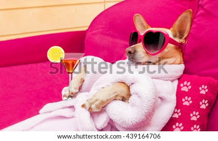 chihuahua dog relaxing  and lying, in   spa wellness center ,wearing a  bathrobe and funny sunglasses , martini cocktail included - stock photo