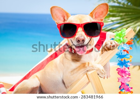 chihuahua dog relaxing on a fancy red  hammock with sunglasses in summer vacation holidays at the beach under the palm tree