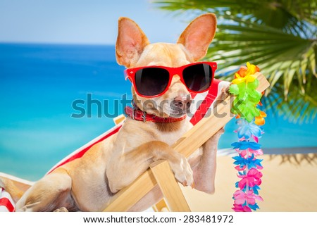 chihuahua dog relaxing on a fancy red  hammock with sunglasses in summer vacation holidays at the beach under the palm tree - stock photo